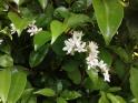 卯の花(ウノハナ)